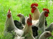 Poules et poules