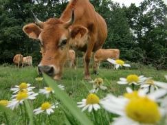 Vache à paquerettes