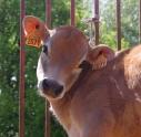 Animaux de la ferme, ici un veau de Jersiaise